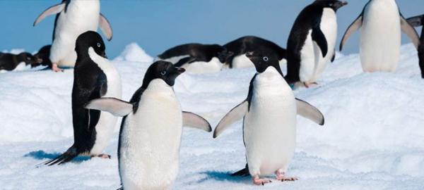 Pingüinos en peligro de extinción por pesquerías comerciales, contaminación y cambio climático