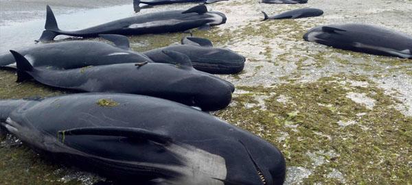 Mueren 300 ballenas varadas en Nueva Zelanda