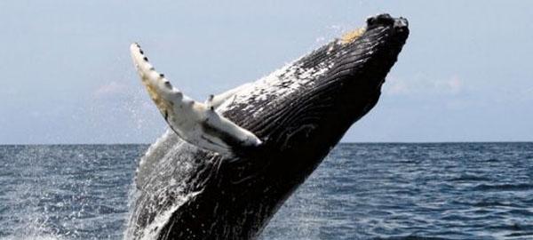 Chile y Perú avanzan en la protección de la ballena franca austral