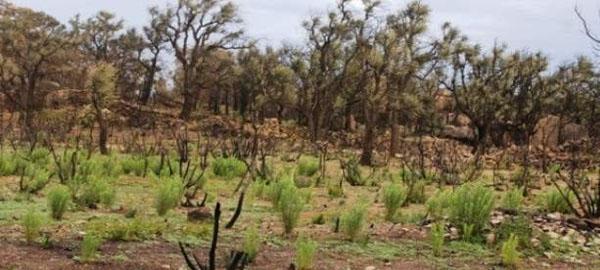 La aridez provocada por el cambio climático ralentiza la regeneración de bosques quemados