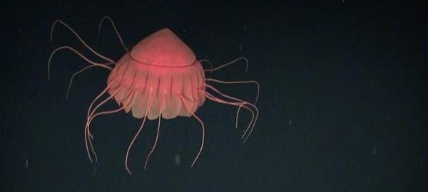 Tres de cada cuatro animales marinos emiten luz
