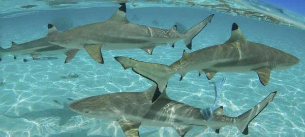 ¿Cómo afecta la caza de tiburones al cambio climático?