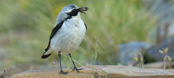 El 43% de las aves europeas, en peligro de extinción