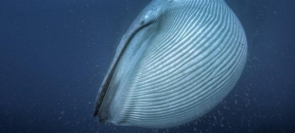 Las ballenas se volvieron gigantes debido a la glaciación