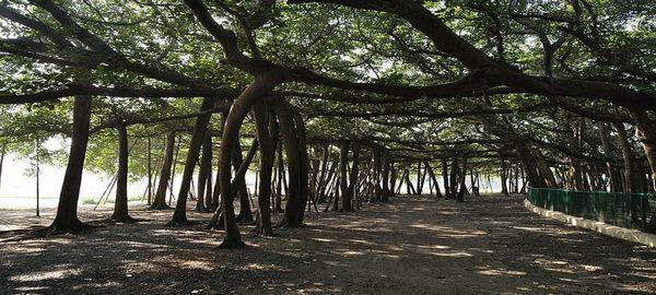 El árbol capaz de formar un bosque