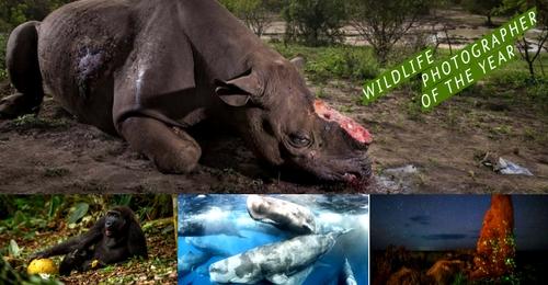 """La cruel imagen de un rinoceronte ganadora del """"Wildlife Photographer of the Year"""""""