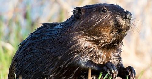 El castor, un aliado de la naturaleza