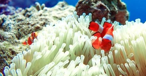 El pez payaso afectado por el cambio climático