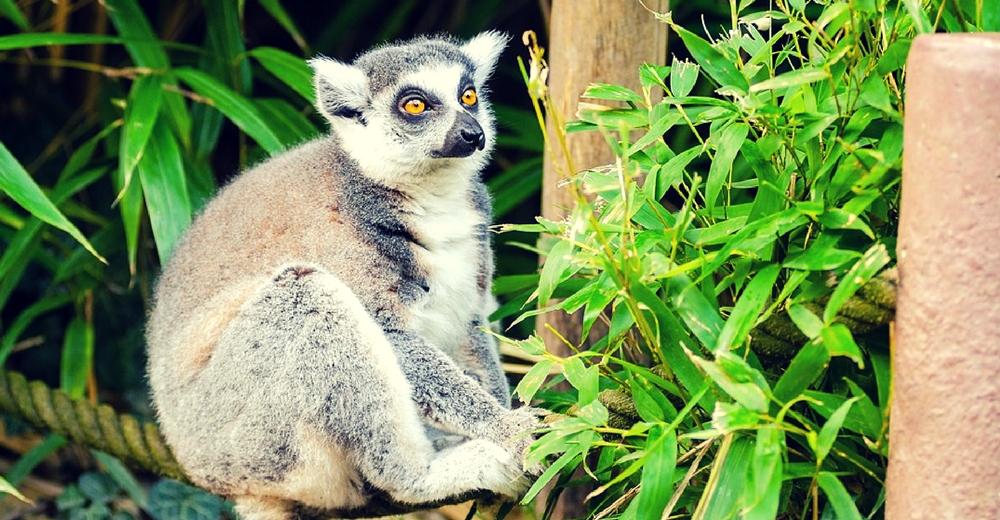 El lémur del bambú podría morir de hambre debido al cambio climático