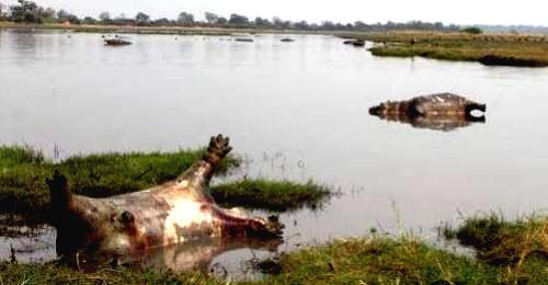 Un brote de ántrax mata a 110 hipopótamos en Namibia