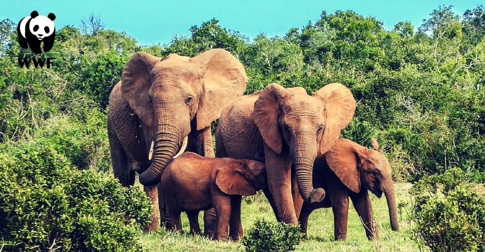 La población de elefantes disminuye un 70% en la última década