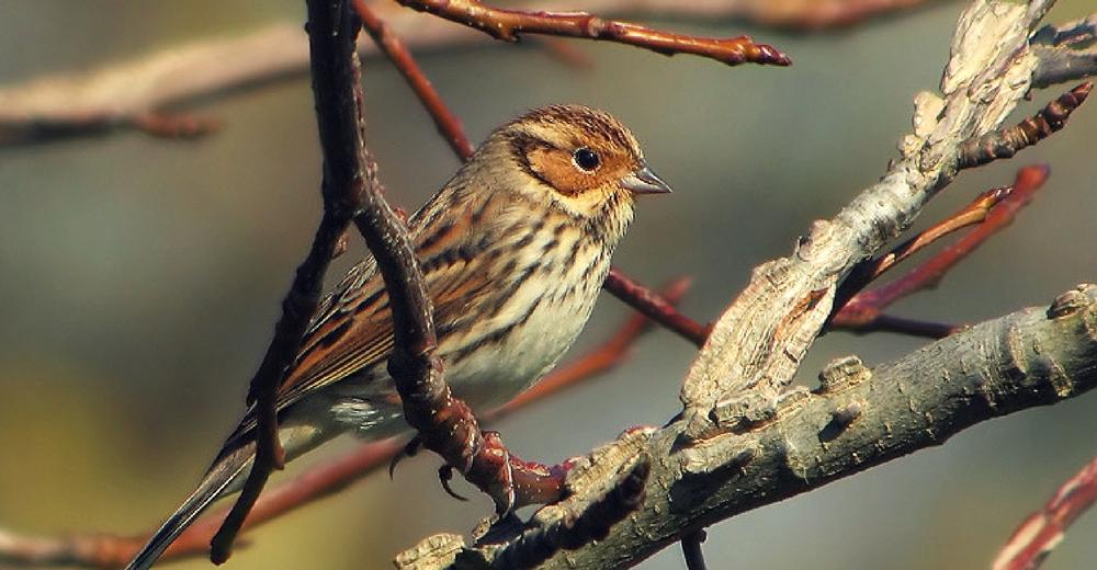 Un pájaro de una raza poco común en España fue hallado en Ceuta