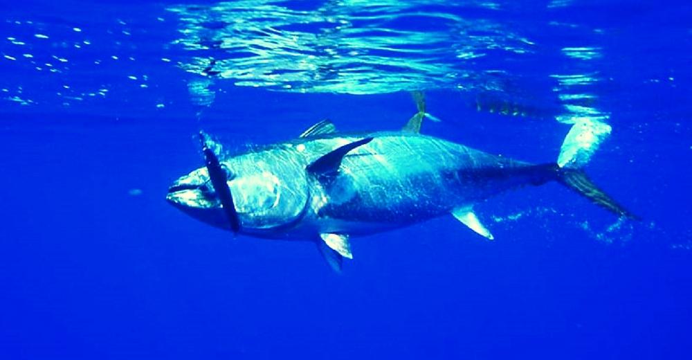 ICCAT aprueba el aumento drástico en las cuotas de captura de atún rojo