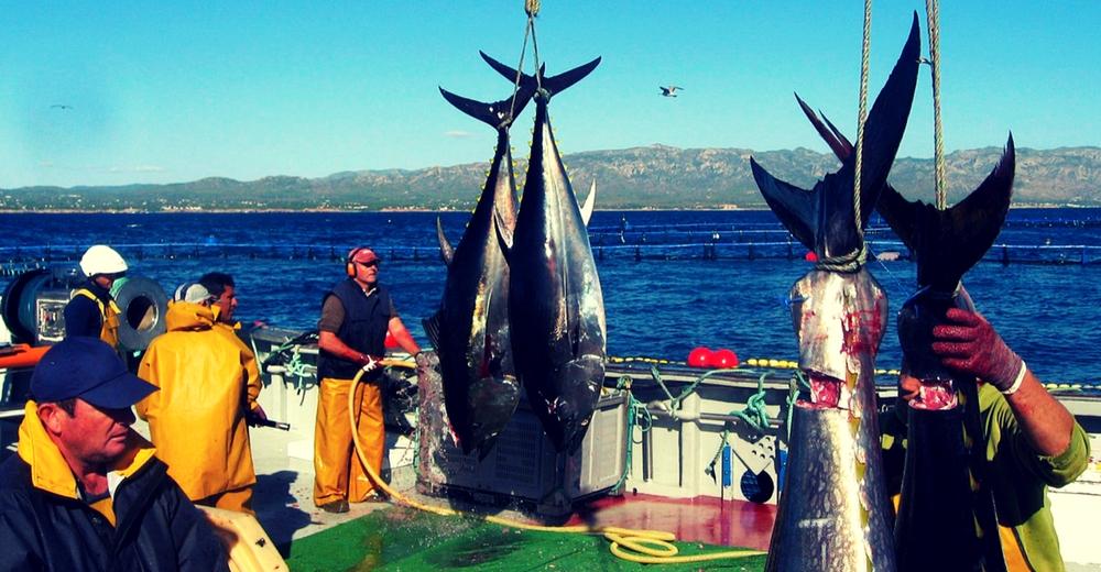 El aumento en la cuota de atún rojo perjudicará a la recuperación de la especie