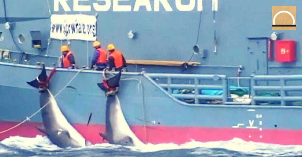 Sea Shepherd divulga un vídeo de una brutal caza de ballenas