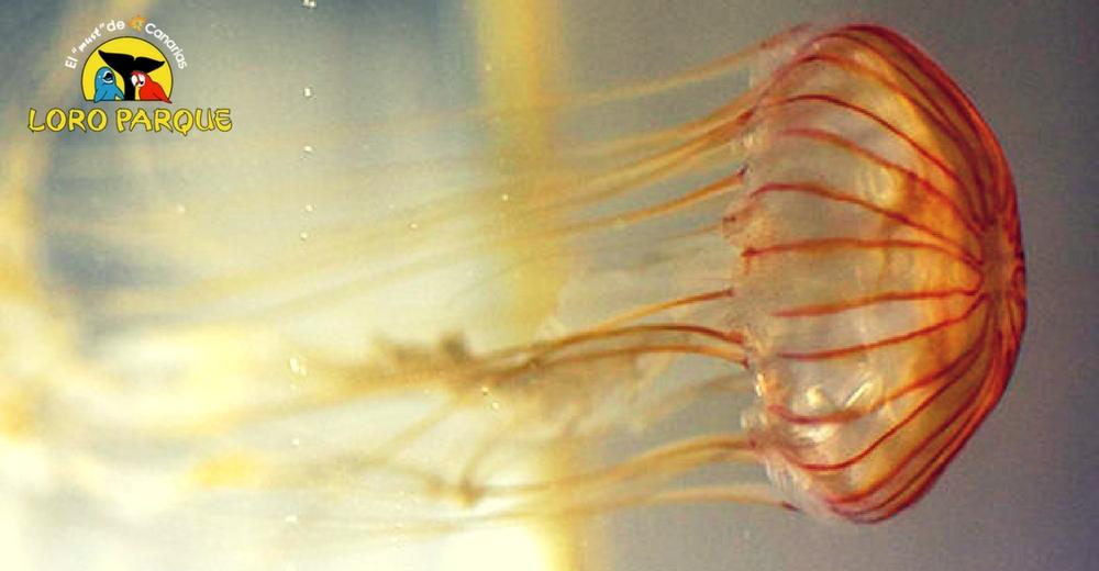 La medusa Chrysaora pacifica se reproduce por primera vez en España