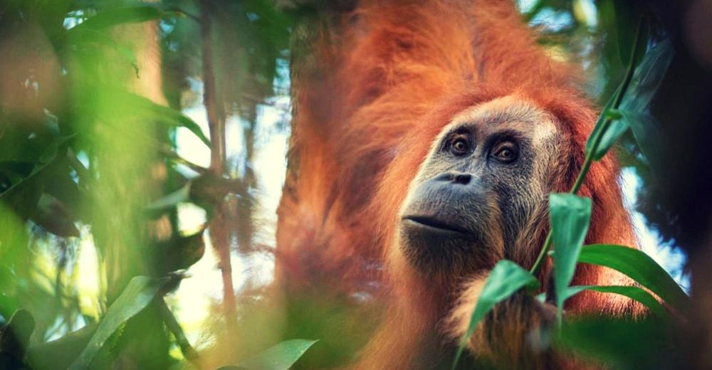 Descubren en Indonesia una nueva especie de orangután