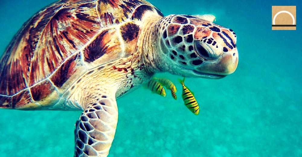 Canarias, la región costera de Europa con más tortugas enmalladas