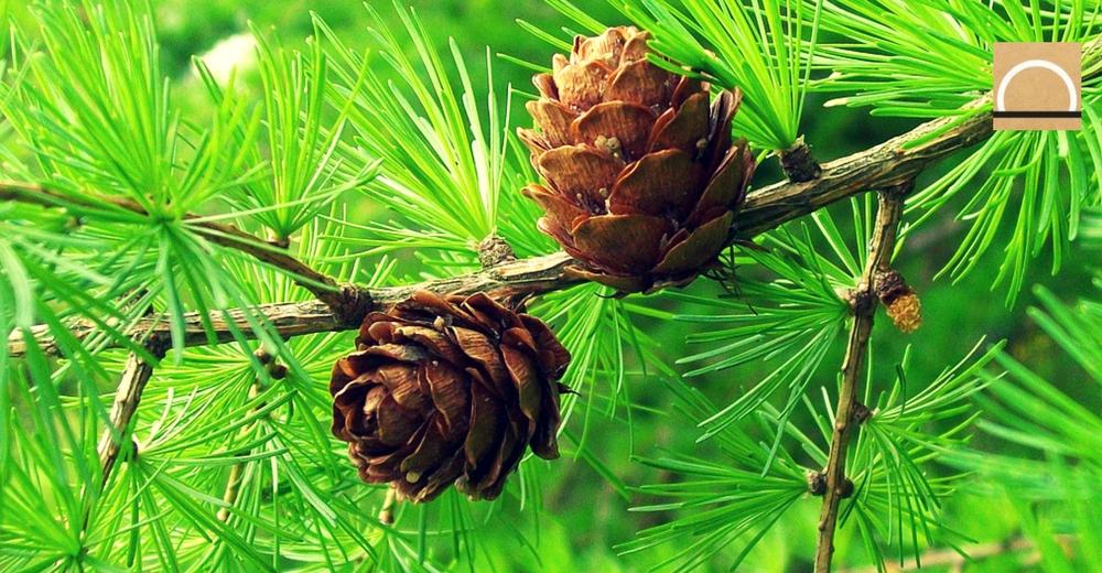 Algunas especies de árboles reverdecerían antes por el Cambio Climático