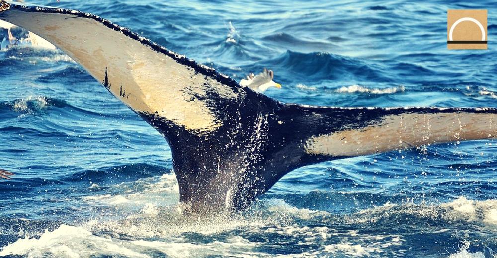La actividad humana en el Ártico afecta al corazón de las ballenas narvales