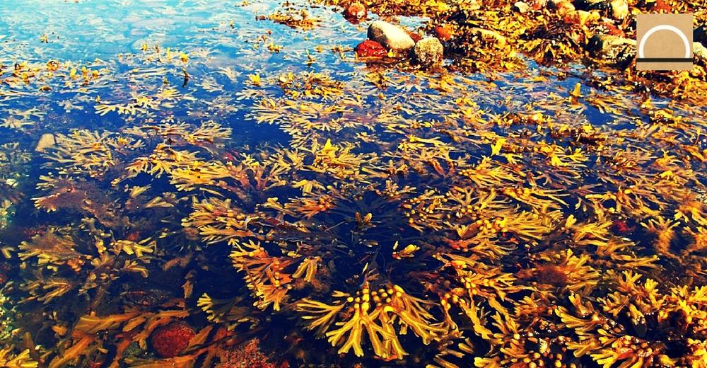 El alga Cystoseira podría ser la especie más afectada por el aumento de temperatura del mar