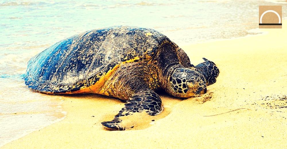 La tortuga boba coloniza nuevas zonas de nidificación