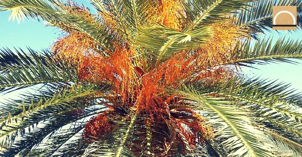 El Gobierno de Canarias crea un mapa que contabiliza las 555.731 palmeras de las islas