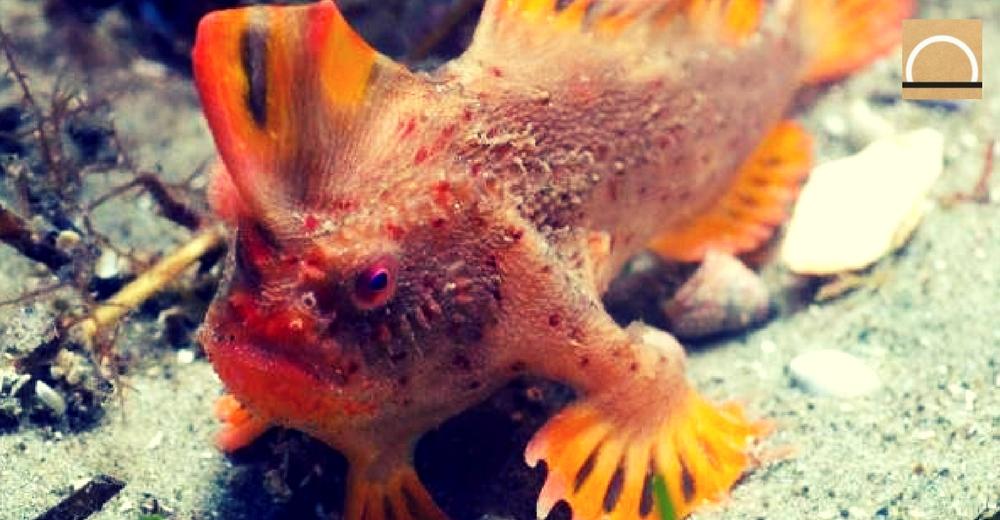 """Descubren en Australia una población de """"peces andantes"""""""