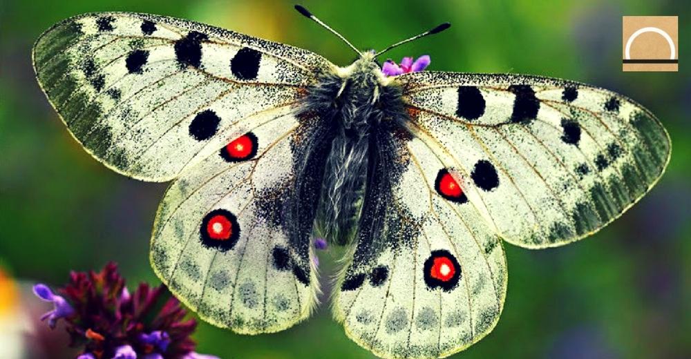 La asociación Zerynthia invita a elegir la especie de mariposa amenazada del año