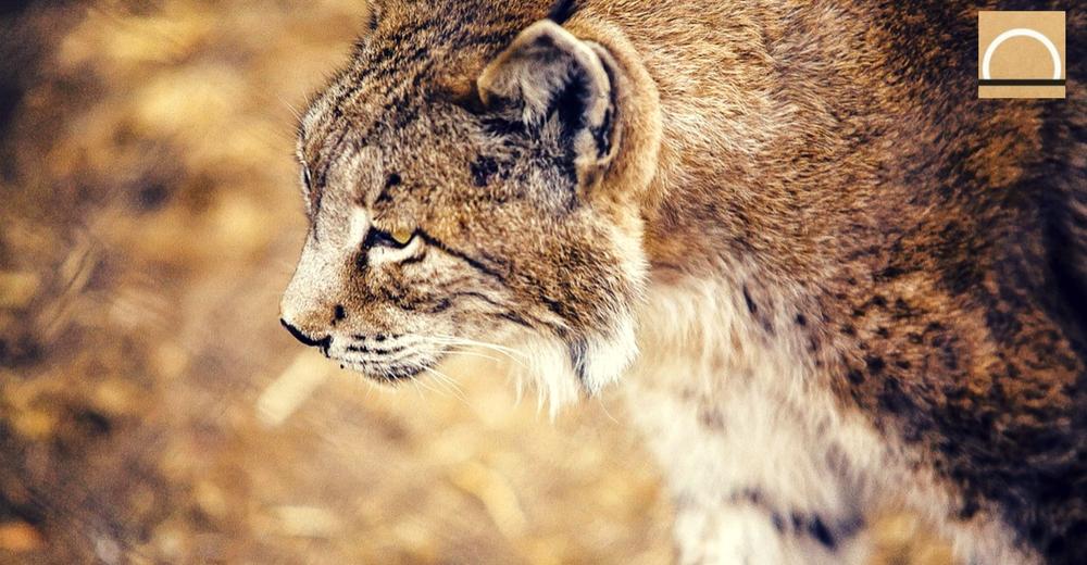 2017: un año terrible para el lince ibérico según WWF