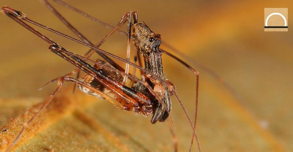 Descubren en Madagascar una nueva especie de araña caníbal con forma de pelícano