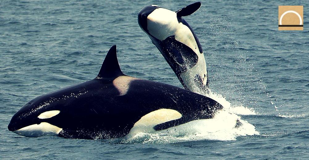 Las sorprendentes imágenes de un grupo de orcas organizándose para la caza