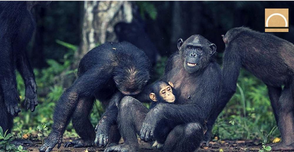 Wounda, la chimpancé que abrazó a Jane Goodall, ha sido madre en estado salvaje