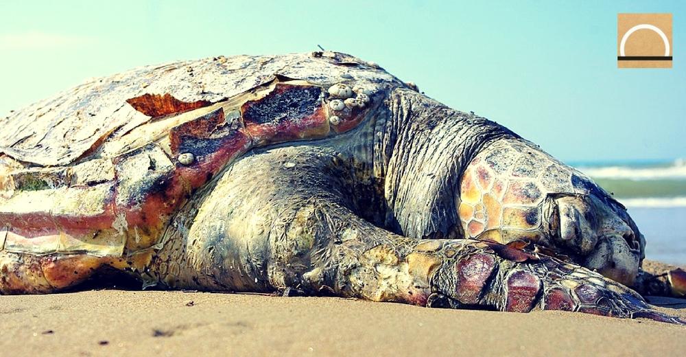 La conservación de las tortugas marinas a través del monitoreo satelital
