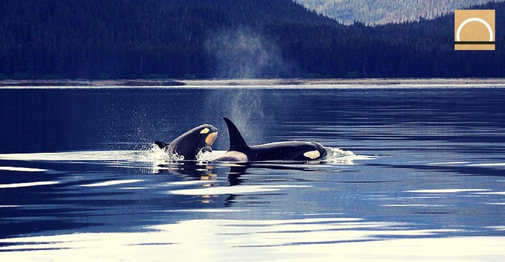 Tóxicos como el DDT y los PCBs afectan al sistema inmunológico de las orcas