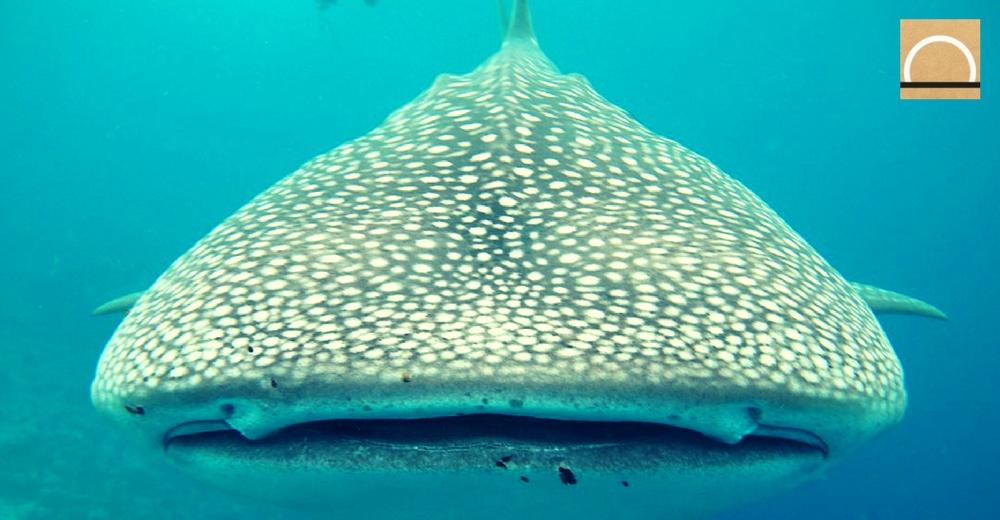 Controlan el número de turistas que quieren nadar junto a tiburones ballena en México