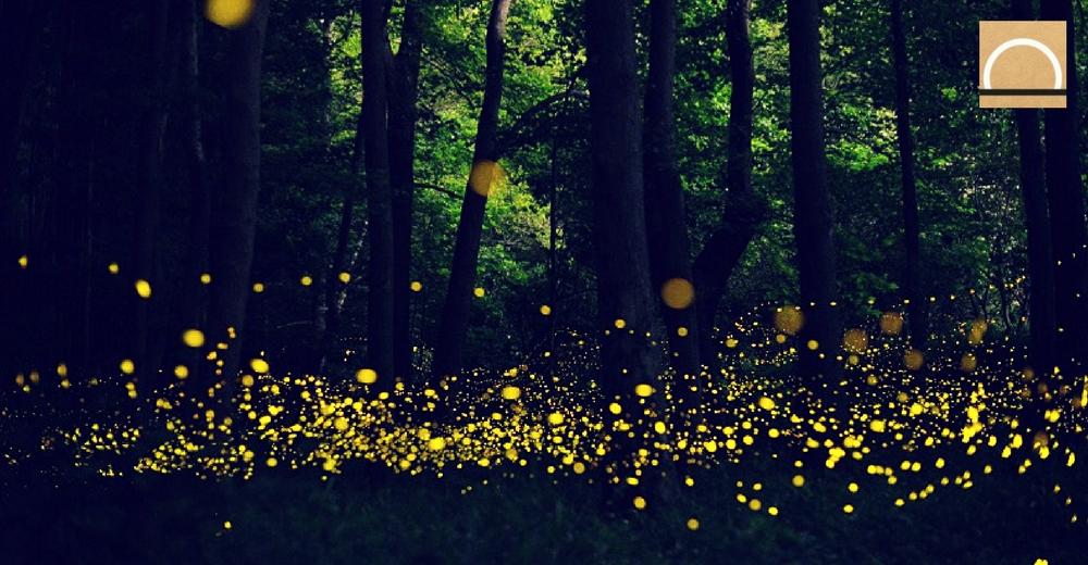 La importancia de las luciérnagas en los bosques de México