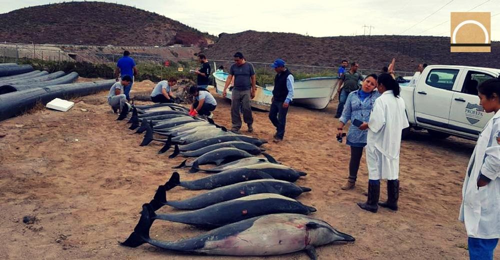 54 delfines se quedaron varados en una playa mexicana