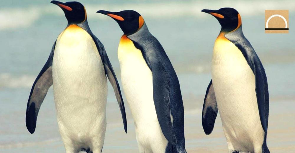 Los pingüinos rey en riesgo por el Cambio Climático