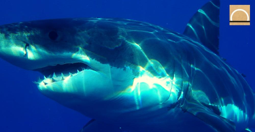 Calculan estadísticamente el número de tiburones blancos que habitan en Australia