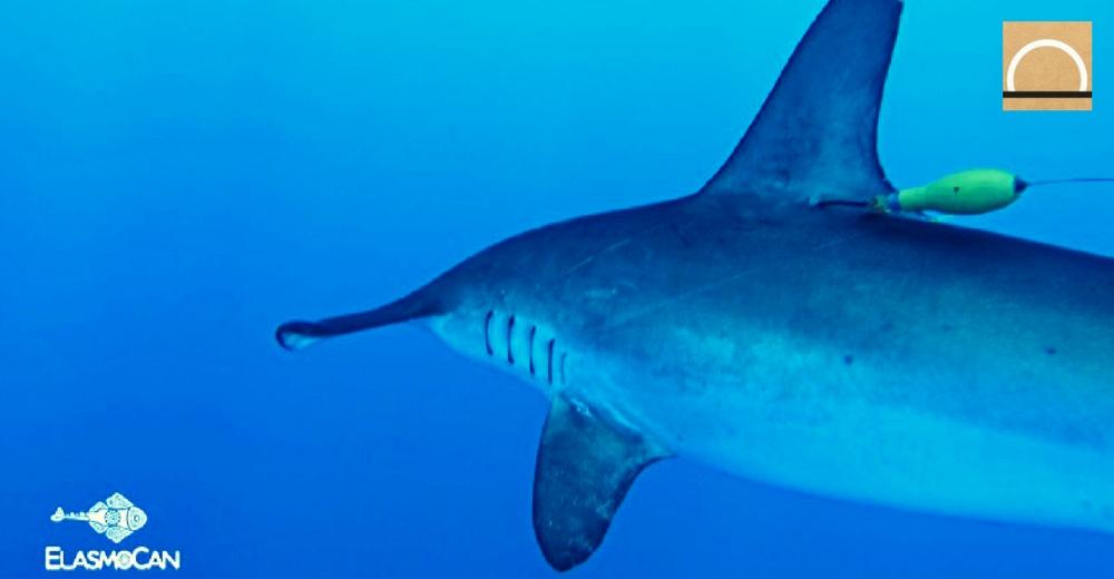 En Canarias marcan un tiburón para estudiarlo desde un satélite