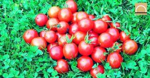 Tomates cherry de calidad reduciendo más del 50% del agua de riego