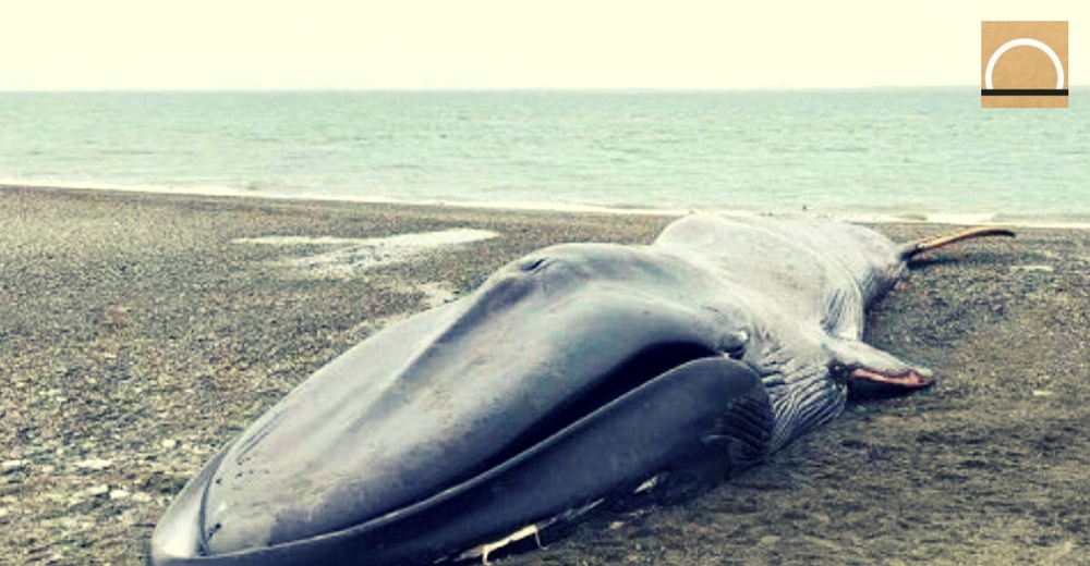 Realizan grafitis y fotos sobre una ballena azul varada en Chile