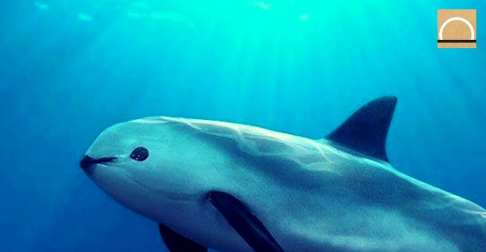 La vaquita marina, ejemplo de crisis de la biodiversidad
