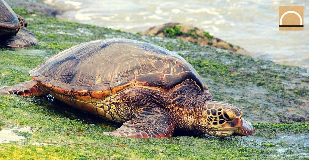 Los machos de tortuga boba también vuelven a donde nacieron