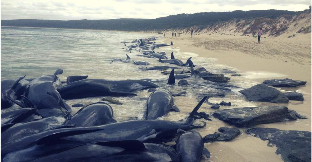 Mueren 150 ballenas piloto varadas en una playa de Australia