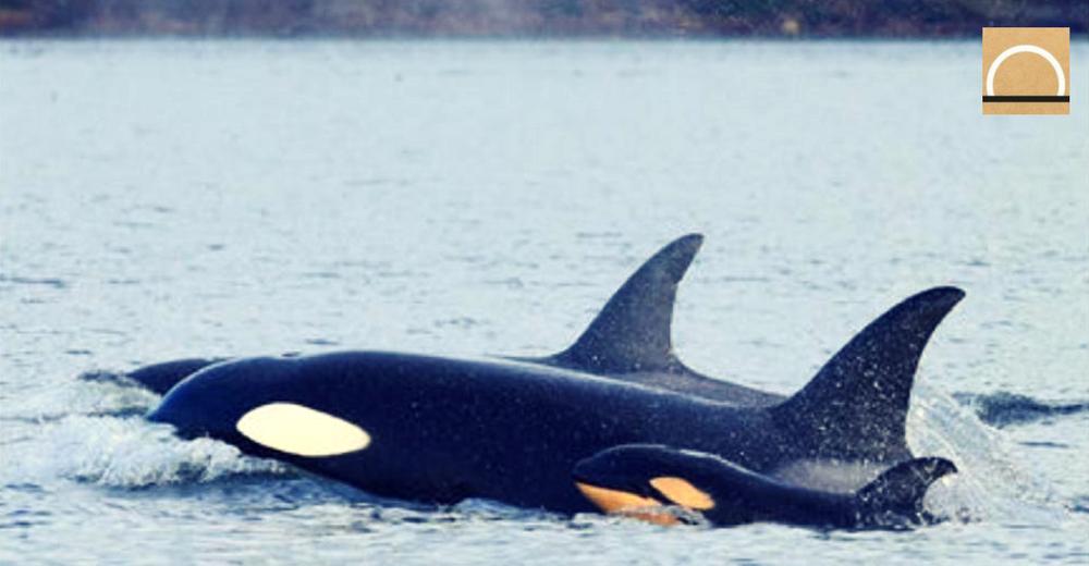 Filman por primera vez un infanticidio entre ballenas orcas