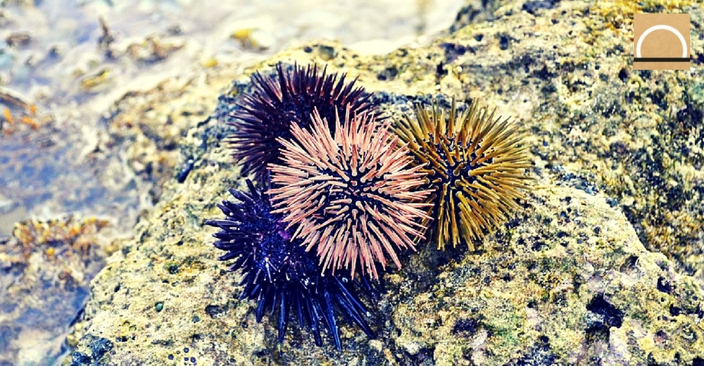 Los erizos de mar excavan su propia vivienda