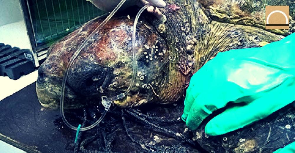 La ONG brasileña, Gremar, rescata y trata animales marinos