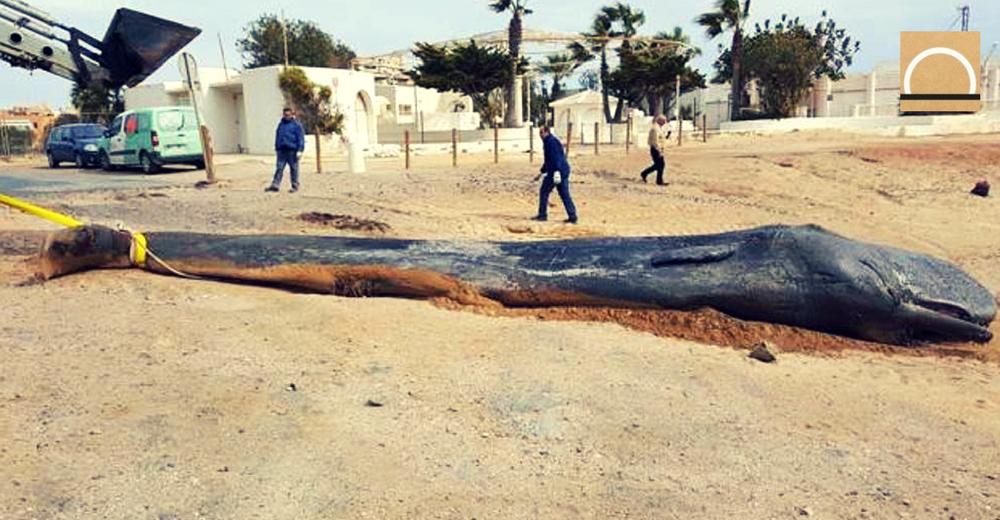 Un cachalote muerto por ingestión de plásticos en Murcia